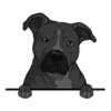 American Pit Bull Terrier Black