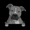 American Pit Bull Terrier Grey