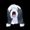 Beared Collie (Beardie)