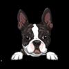 Boston Terrier (Brindle)