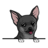 Chihuahua Black Mix