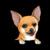 Chihuahua Cream