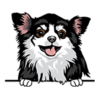 Chihuahua (Long Haired) Black White