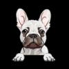 French Bulldog (Frenchie) White