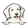 Goldendoodle (White)