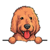 Labradoodle (Gold)