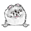 Pomeranian (White)