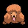 Poodle (Golden)