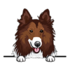 Rough Collies (Red White)
