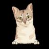 Singapura Cat 4