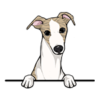 Whippet (Fawn White)