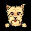 Yorkshire Terrier (Yellow)